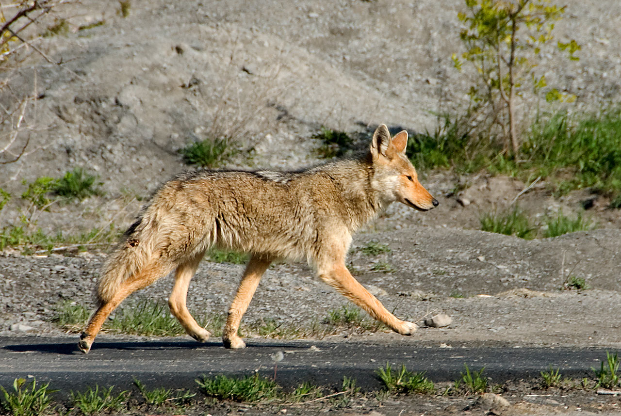 Coyote On Trail.jpg